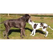 View full profile for Tripp Great Danes