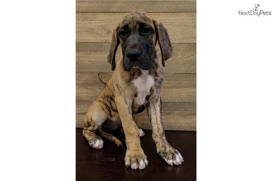 Lady Great Dane Puppy For Sale Near Fort Wayne Indiana 60227f53
