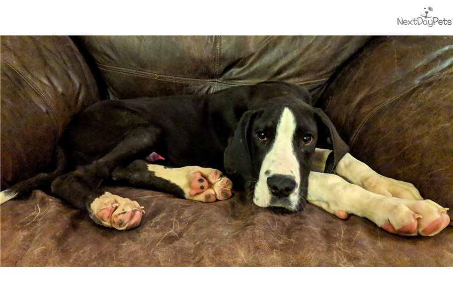 Prince Great Dane Puppy For Sale Near Fort Wayne Indiana