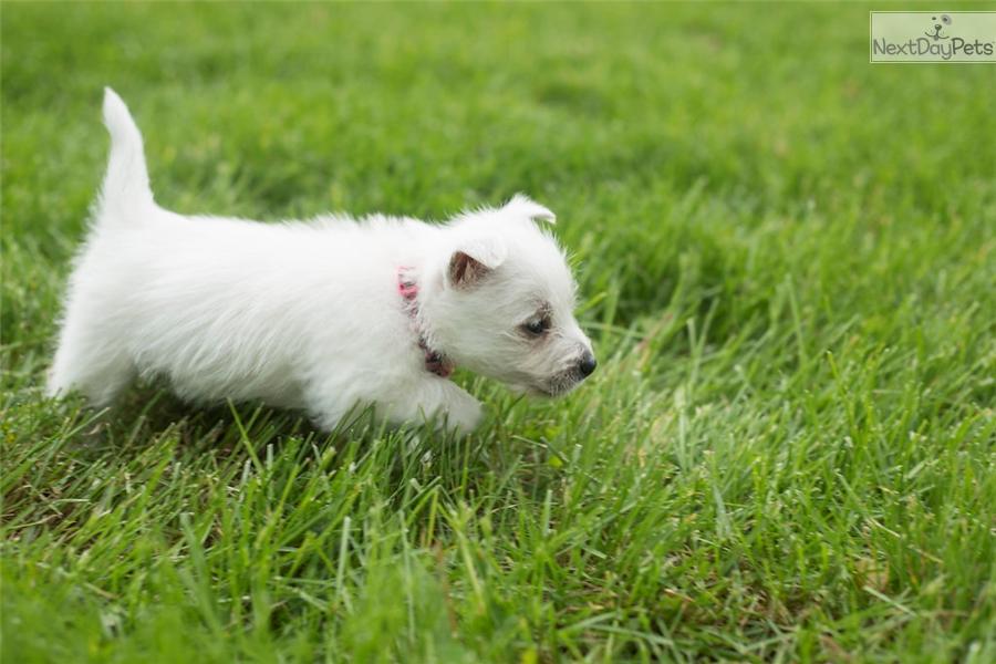 Paris West Highland White Terrier Westie Puppy For Sale Near Fort