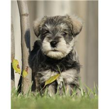 View full profile for Rose Lane Schnauzers