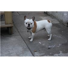 View full profile for The French Bulldog Breeders