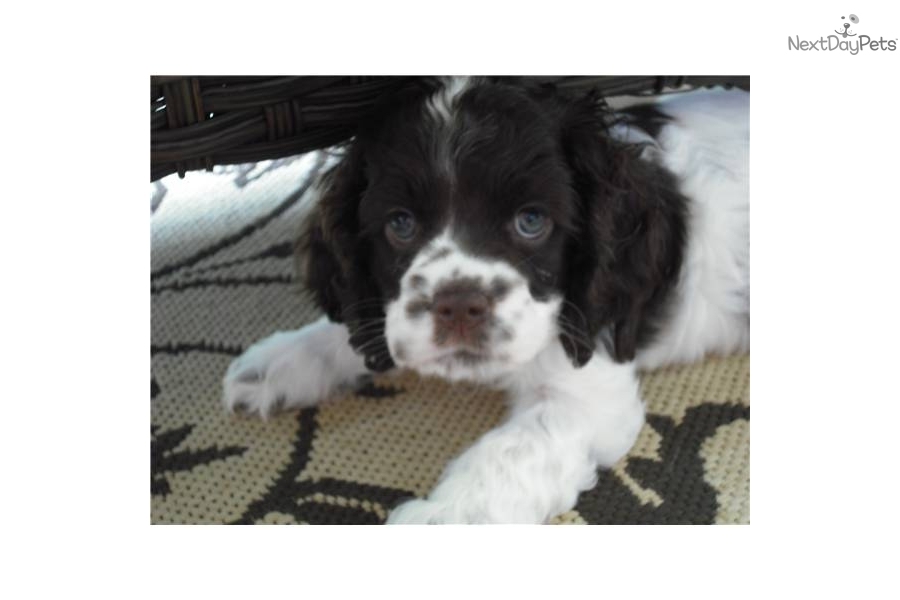 cocker spaniel puppies for sale in texas cocker spaniel for sale for 400 near dallas fort worth 452