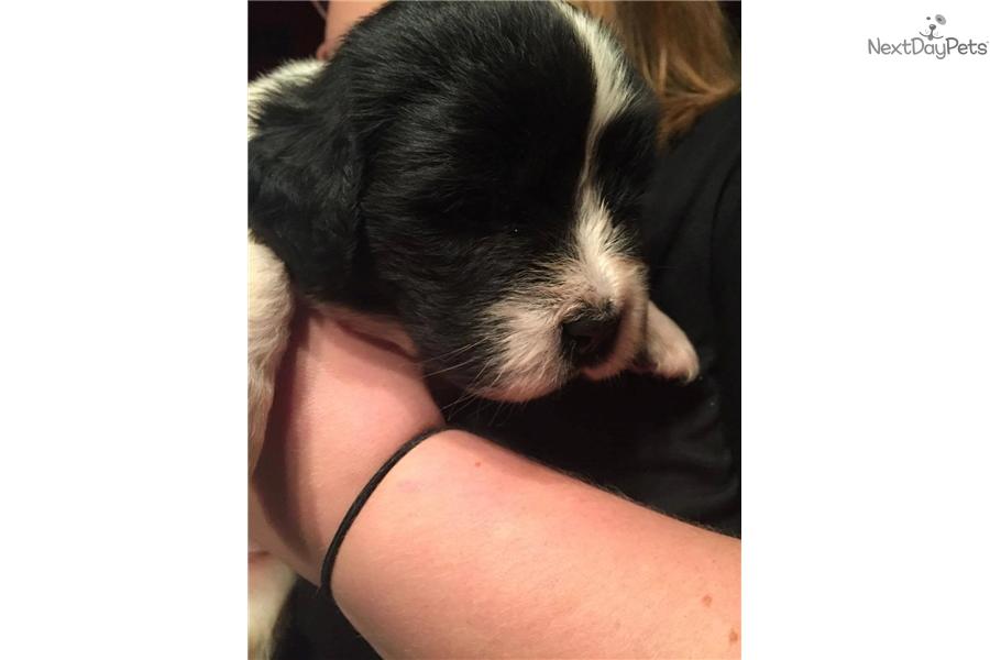 Landseer Newfoundland Puppy For Sale Near Chicago Illinois