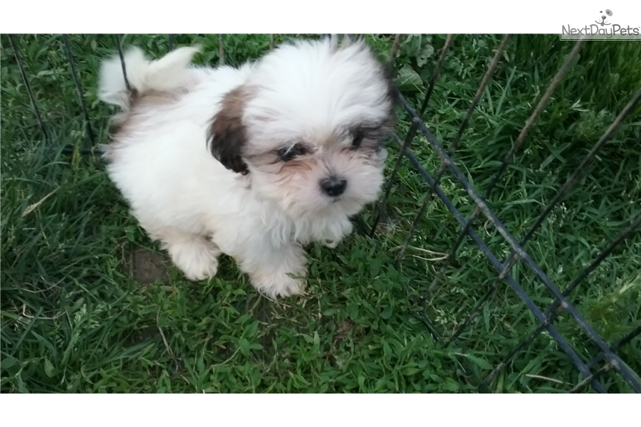Shih Tzu Puppy For Sale Near Ashtabula Ohio 33fdbaf0 5981