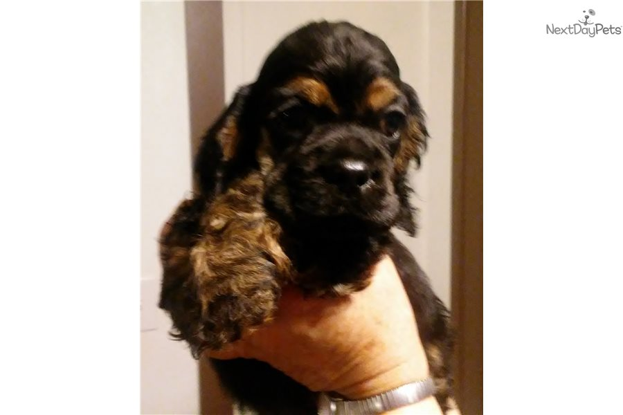 Streak: Cocker Spaniel puppy for sale near Missoula, Montana