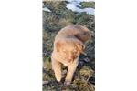 Picture of a Nova Scotia Duck Tolling Retriever Puppy