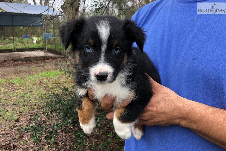 Australian Shepherd puppy for sale near New South Wales Australia