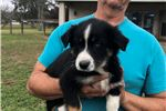 Picture of Viva AKC one blue eye