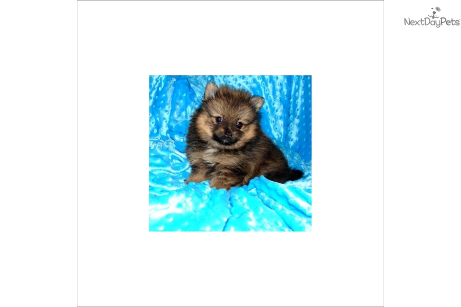 Malaysia Love My Pup Pomeranian Puppy For Sale Near South Florida