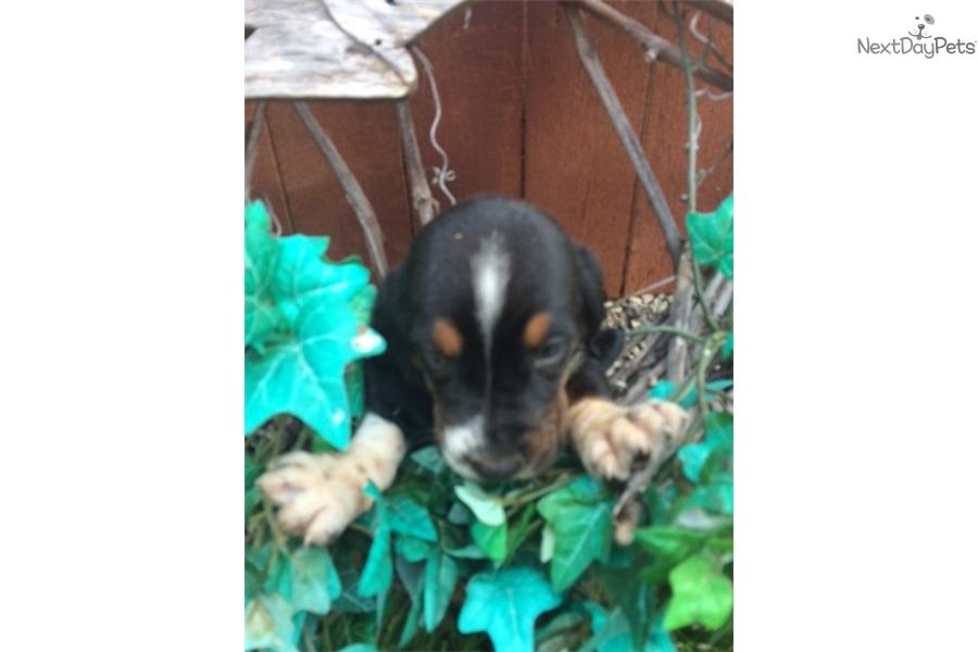 Basset Hound Puppy For Sale Near Lima Findlay Ohio A1c3e92d 9b51