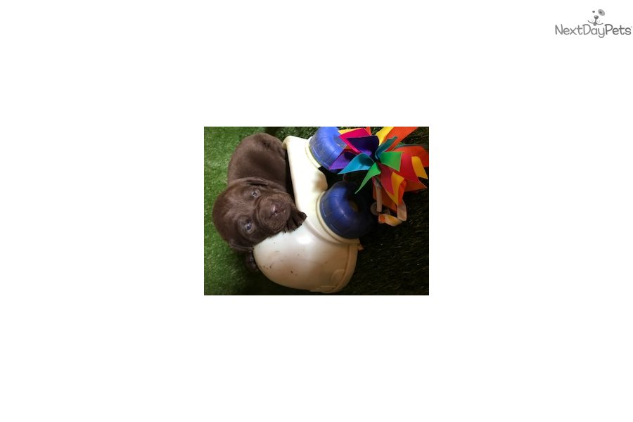 Labrador Retriever puppy for sale near Muncie / Anderson, Indiana