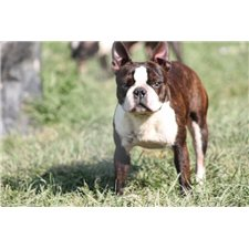View full profile for Sullivan's Boston Terriers