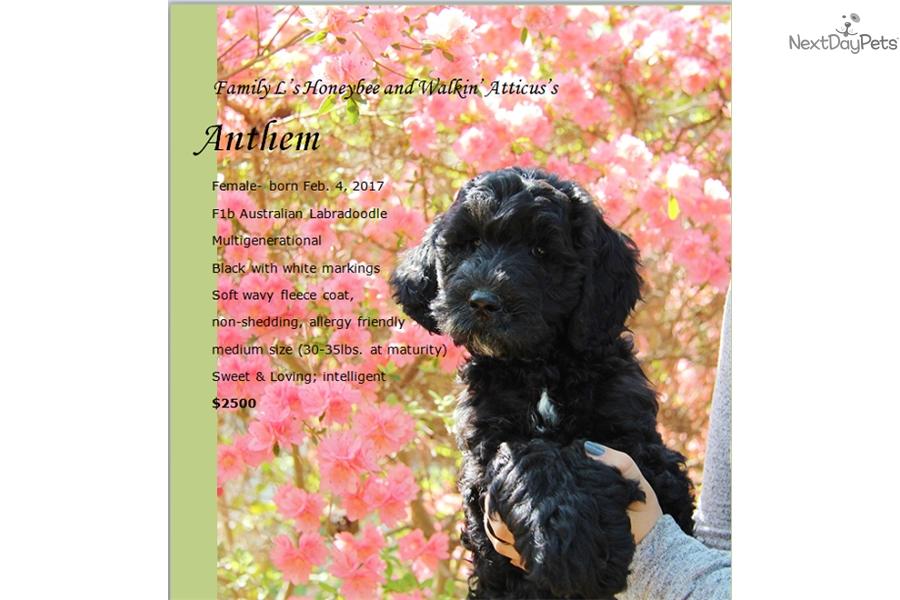 Anthem Labradoodle Puppy For Sale Near Hampton Roads