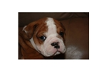 Featured Breeder of Olde English Bulldogges with Puppies For Sale