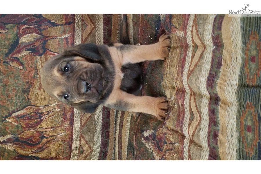 Boomer: Bloodhound puppy for sale near Wichita, Kansas
