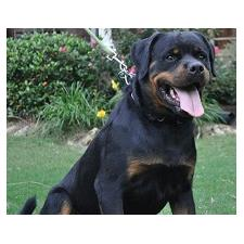 View full profile for Lucky Luciano's Rottweilers