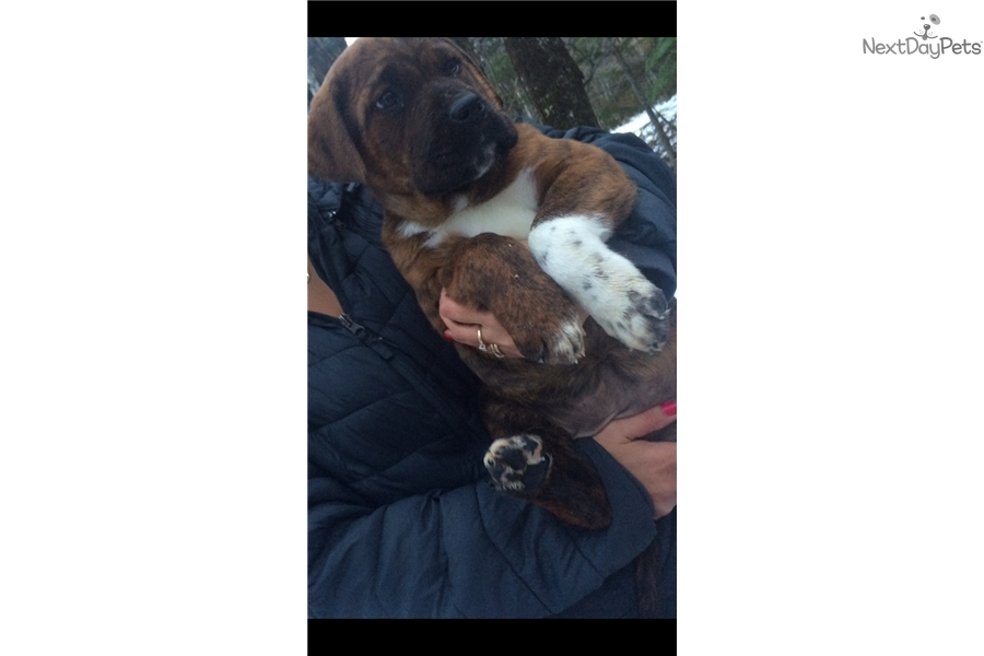 Cane Corso Mastiff Puppy For Sale Near Maine Ab22f380 7121