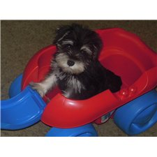 View full profile for Setliff Schnauzers