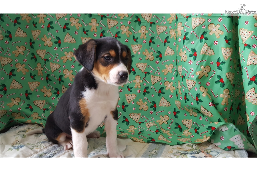 Bells: Beagle puppy for sale near Battle Creek, Michigan | 5899d04b-62a1