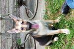 Treeing Walker Coonhound for sale