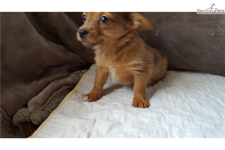 Laly Yorkshire Terrier Yorkie Puppy For Sale Near Battle Creek