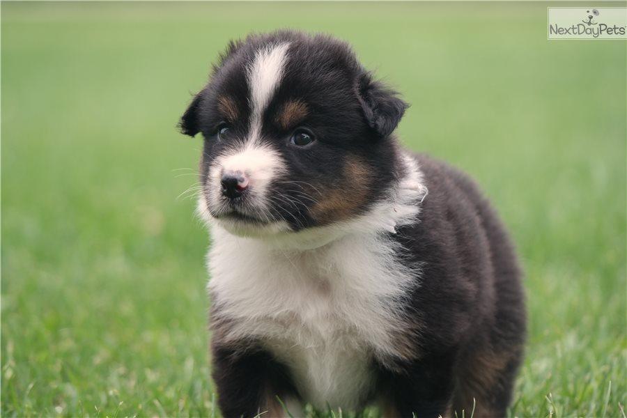 White Collar: Miniature American Shepherd puppy for sale