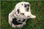 Picture of PurpleCollar.AKC Miniature American Shepherd.BMF
