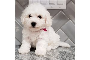 Valorie - Bichon Frise for sale