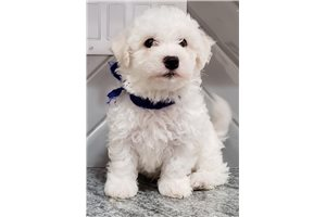 Bob - Bichon Frise for sale