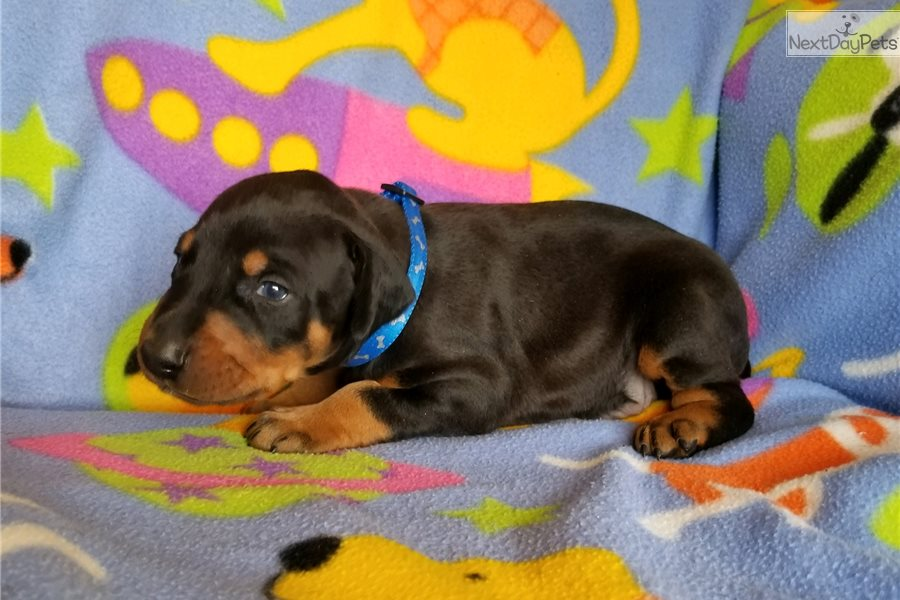 Chase: Doberman Pinscher puppy for sale near Albuquerque