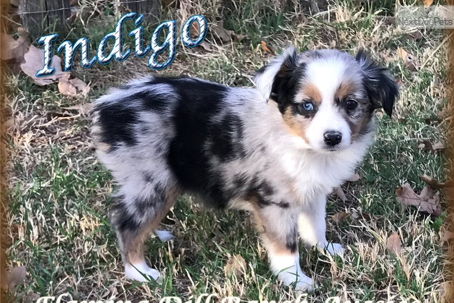 Indigo Miniature Australian Shepherd Puppy For Sale Near Dallas