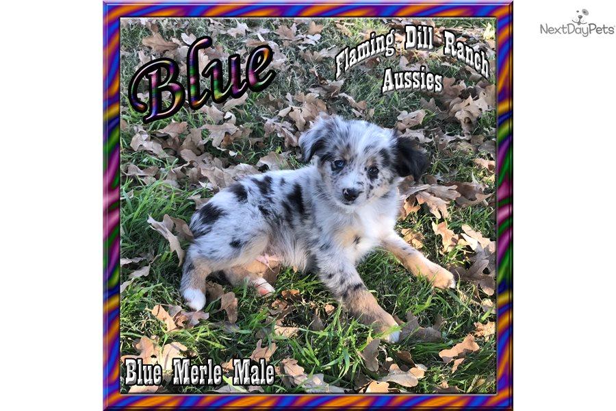 Blue: Miniature Australian Shepherd puppy for sale near