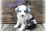 Picture of Violet ~ Toy/Small Mini Blue Merle Female Aussie