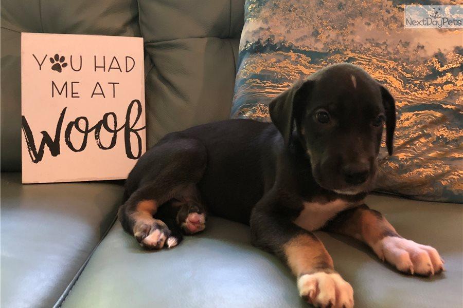 Great Dane Puppy For Sale Near Joplin Missouri 7a11c4f7 59c1