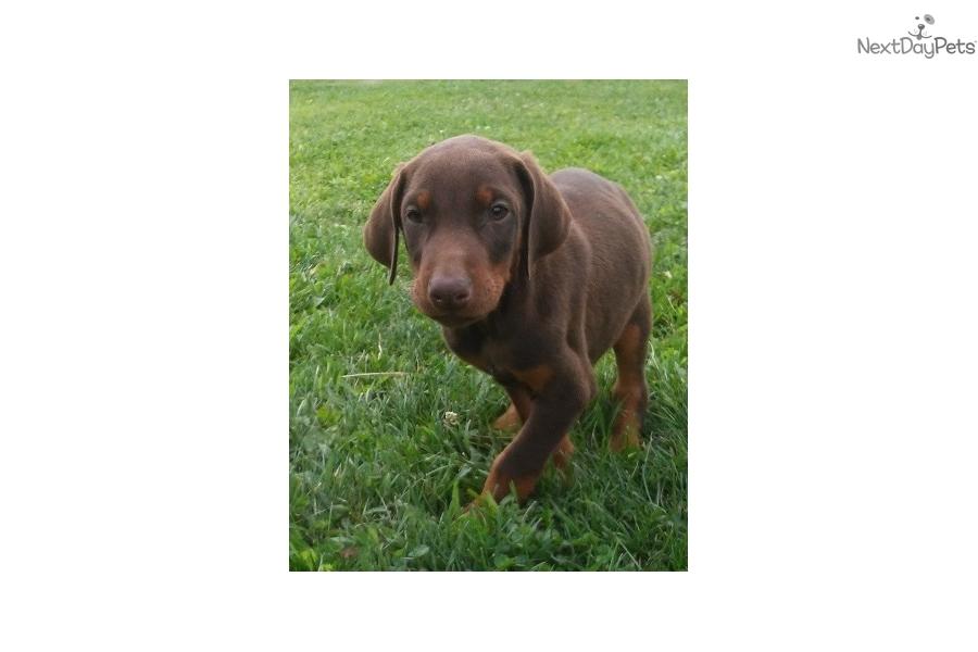 Doberman Pinscher Puppy For Sale Near Southwest Michigan Michigan