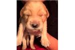 Picture of Sweet little Goldador girl Boy Beau