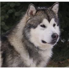 View full profile for Beau Flue's Alaskan Malamutes
