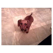 View full profile for dachshund babies