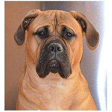 View full profile for Windy City Bullmastiffs