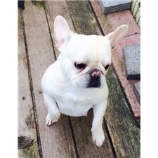 View full profile for Dmcpugsandfrenchbulldogs