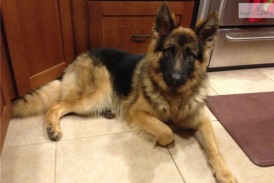 bay area german shepherd german shepherd puppy for sale near san francisco bay area 1291