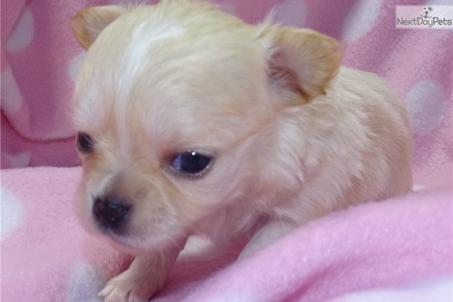 June: Chihuahua puppy for sale near Salina, Kansas