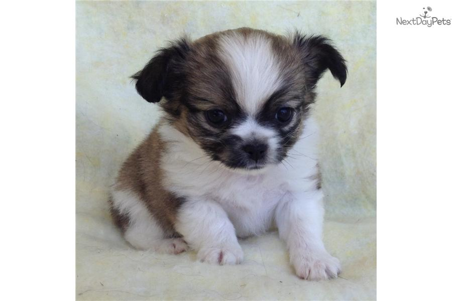 Japanese Chin puppy for sale near Salina, Kansas ...