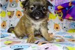 Picture of AKC Amos Applehead Chihuahua