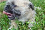 Picture of Loving male PugTzu super sweet