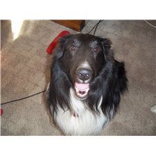 View full profile for Moonshine Shelties