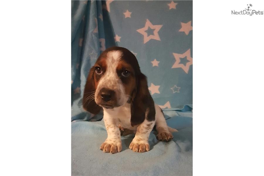 Basset Hound Puppy For Sale Near Cincinnati Ohio 7c378fe7 84b1
