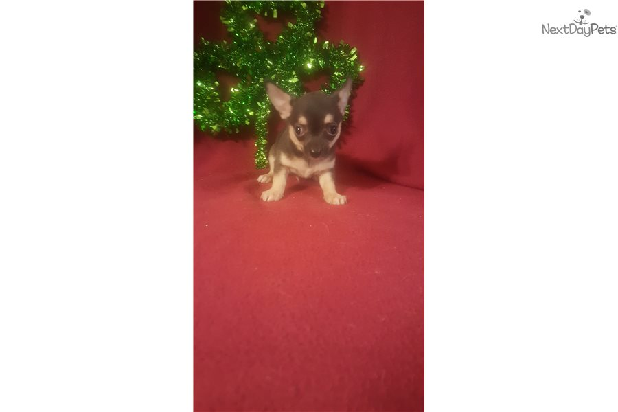 Chihuahua Puppy For Sale Near Cincinnati Ohio 5af1e988 2bc1