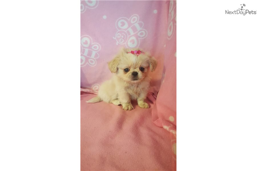 Pekingese puppy for sale near Cincinnati, Ohio | f4624925-6ad1